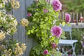 Rose 'Hunyard', often flowering, healthy, little or no scent