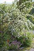 Deutzia magnifica underplanted