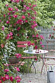 Small seating place on Gravel terrassse with Rose 'Scarlet Glow'