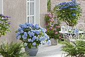 Shady terrace with blue hydrangeas
