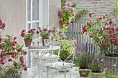 Terrace with flowering Rose, Salvia nemorosa