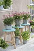 Argyranthemum frutescens 'Molimba Pink', on turquoise stools