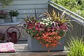 Gray box with Argyranthemum 'Molimba Red' 'White Impression'