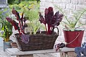 Basket with Swiss chard 'Feurio', tuber fennel 'Selma'