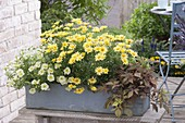 Gray wooden box with Argyranthemum frutescens Courtyard 'Citronelle'