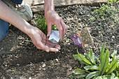 Vegetable sowing in organic garden