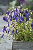 Campanula punctata X trachelium 'Sarastro' (bellflower)