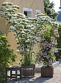 Cornus kousa 'Kreuzdame'(Chinesischer Blumen-Hartriegel)