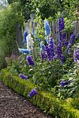 Perennial flowerbed with Delphinium, Alchemilla