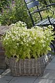 Tanacetum parthenium (fetherfew) in a big basket