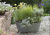 Old zinc bathtub with fragrant plants on gravel terrace