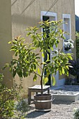 Little homegrown avocado tree in wooden tub