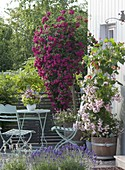 Balcony with climbing roses, Rosa 'Rosenholm' in front 'Super Excelsa'