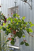 Flowering kidney bean 'Hestia' planted on hanging basket on wall holder
