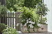 Mediterranean planted wooden box-Olea europaea, bay leaf