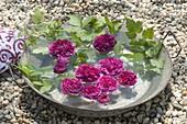 Rosa 'Charles De Mills' (gallica-rose) flowers, historical