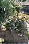 Pelargonium peltatum 'Snow Cascade' (Hanging Geranium)