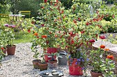 Red gravel terrace with redcurrants