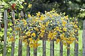 Chrysocephalum 'Desert Gold' (globe-flower)