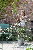 Woman picking sour cherries 'Schattenmorelle'