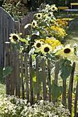 Helianthus 'Garden Statement' (Sunflower)