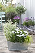 Zinc bath with Osteospermum Springstar 'White' (Cape daisy)