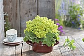 Alchemilla mollis bouquet in a brown enamel pot