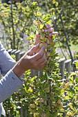 Woman picking yellow gooseberries 'Invicta' (Ribes uva-crispa)