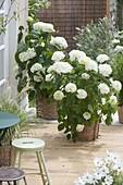 Baskets with Hydrangea arborescens 'Annabelle' (Ball Hydrangea)