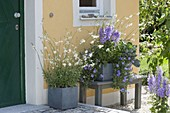 House entrance with gray boxes, planted blue and white