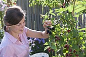 Woman picking blackberries 'Navaho' from the garden