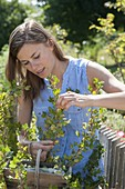Woman picking gooseberries 'Invicta' (Ribes uva-crispa)