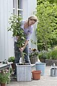 Blackberry 'Navaho' in wooden tub plants