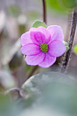 Ashwood NURSERIES: JOHN MASSEYS Collection of Hepaticas -hepatica AMERICANA X Ashwood FLARE GROUP
