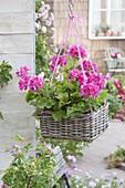 Pelargonium zonal 'Flower Fairy Rose' in basket