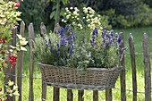 Basket with herbs hung on the fence-lavender