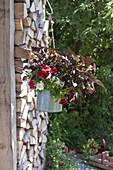 Tin bucket as hanging planter with Ipomoea batatas 'Sweet Carolie Copper'
