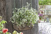 Wire basket with Euphorbia hypericifolia 'Euphoric White'