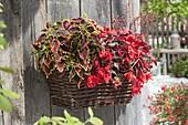 Solenostemon 'Royal Scot', Begonia boliviensis 'Dark Elegance'