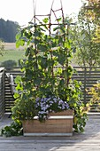 Wooden box with cucumbers (cucumis) on trellis