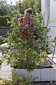 Woman tethers of raspberry (Rubus)