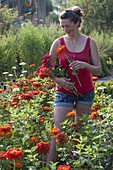 Woman is cutting zinnia for red bouquet