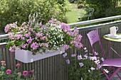 Balcony Box with Pelargonium peltatum 'Decora Purple'