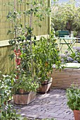 Wooden tub with tomatoes planted with basil
