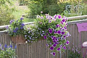 Balcony box with Petunia Sanguna 'Purple Picotee', Heliotropium
