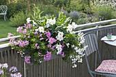 Balcony box planted pink and white Pelargonium peltatum 'Decora Rosa'