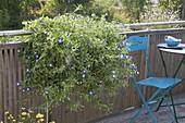 Convolvulus Tricolor 'Blue Flash' in the balcony box