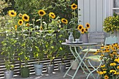 Yellow balcony with Helianthus annuus (sunflower) in buckets