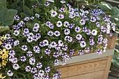 Petunia Supertunia 'Violet Star Charm' (Petunie)