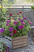 Zinnia 'Giant Burgundy' and 'Purple Prince' in wooden box